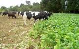 Una dieta equilibrada en los ganados vacunos, ovinos y caprinos, generará mejores resultados. Foto: Peruláctea.