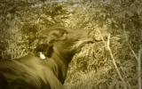 Los sistemas silvopastoriles están conformados por árboles y arbustos, como fuente de alimento, sombra y confort en la ganadería. Foto: CONtexto Ganadero.