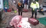 Durante el procedimiento se incautaron 100 kilos de carne de caballo. Foto: Policía.