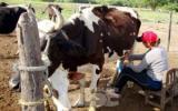 En el país más de 450 mil productores derivan su sustento exclusivamente de la producción de leche. Foto: www.abc.com.py.
