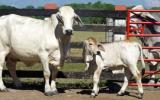Asesor francés dio a conocer los avances del programa nacional de genética bovina. Foto: CONtexto Ganadero.