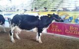 Huilense, 5 años y medio de edad, 2 partos y una producción de 56 litros diarios de leche, ese es el perfil de Melodía. Foto: Jorge García.
