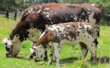 Hasta comienzos de mayo hay identificados 45 mil 591 animales, ubicados en 438 predios. Foto: Fedegán.