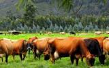 La división de praderas le garantiza al productor tener vacas mejor alimentadas. Foto: CONtexto Ganadero.