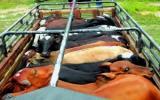 Durante el desplazamiento en camiones, las reses son maltratadas y sometidas a altos niveles de estrés. Foto: CONtexto Ganadero.
