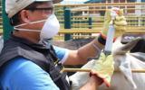 Fedegán FNG ha conseguido llevar a Colombia a la certificación de país libre de fiebre aftosa con vacunación. Foto: Diego Ríos.