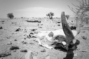 A la fecha, más de 14 mil reses han muerto a causa del verano. Foto: astim2011.blogspot.com.