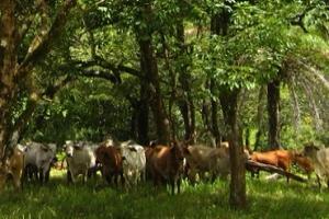 El uso e implementación de los sistemas silvopastoriles es una buena alternativa para cuidar y preservar los ecosistemas. Foto: Fedegán.